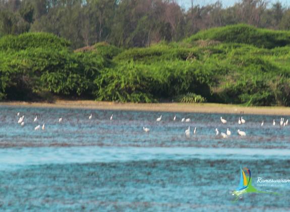 rameswaram Birds Sanctuaries